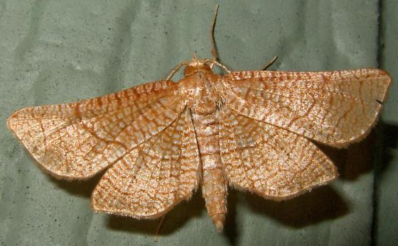 Unidentified Moth 1 - Hexeris enhydris