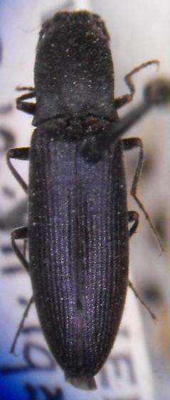 Ctenicera moerens - Corymbitodes moerens