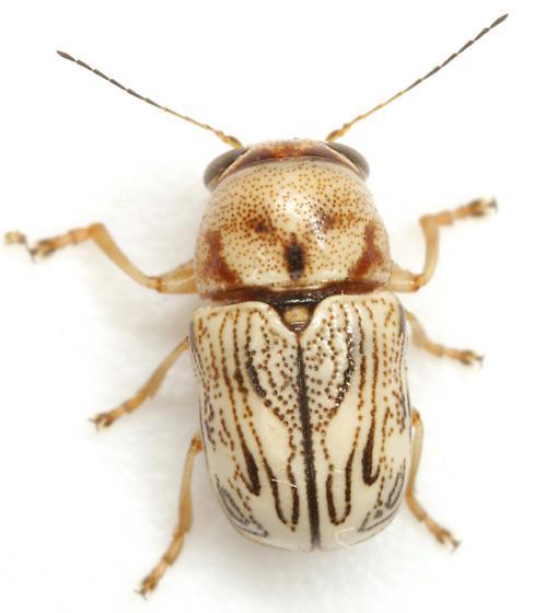 Pachybrachis sp. (EGR 19) - Pachybrachis