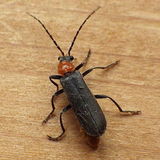 Catharidae: Cantharis aneba? - Cantharis aneba