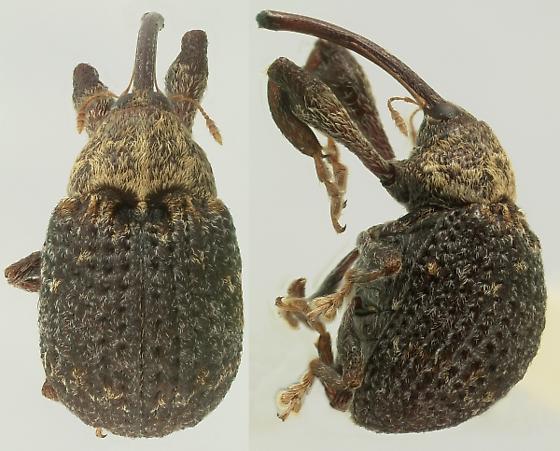 Atractomerus punctipennis (Gyllenhal) - Atractomerus punctipennis