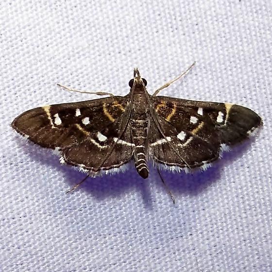 Hodege #5174 – Diathrausta reconditalis – Recondite Webworm Moth - Diathrausta harlequinalis