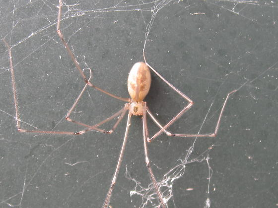 Long-bodied Cellar Spider - Female - Pholcus phalangioides - female