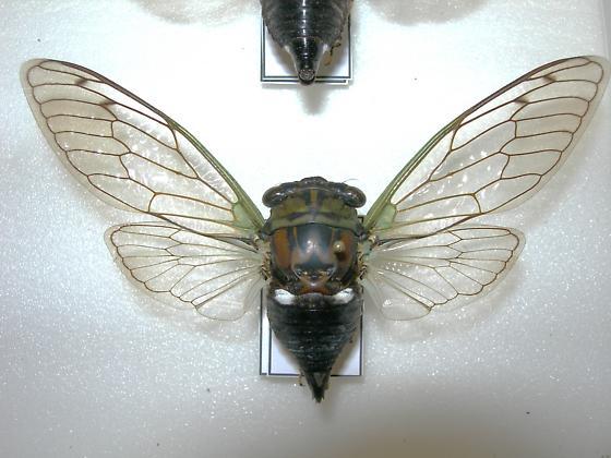 Tibicen tibicen australis (FEMALE 001) - Neotibicen tibicen - female