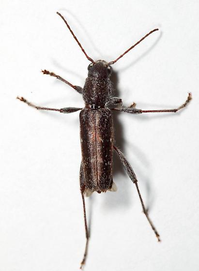 longhorn - Xylotrechus sagittatus