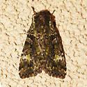 Green Arches Moth - Anaplectoides prasina