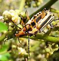 Mating Cantharids - Chauliognathus marginatus - male - female
