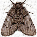 Unkown Moth - Raphia frater - female