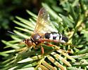 Cicada Killer Wasp - Sphecius speciosus - female