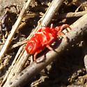 Eight-legged and red - Eutrombidium