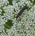 which Cerambycidae? - Rhopalophora longipes