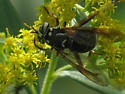 fly? - Spilomyia fusca
