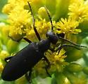 Dark colored beetle