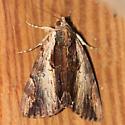 Moth - Ultronia Underwing Moth - 8857 - Dorsal - Catocala ultronia