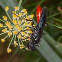 Prionyx or Sphex lucae? - female