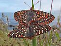 Edith's Checkerspots - Euphydryas editha - male - female