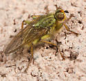 Fly With Yellow Tint - Scathophaga stercoraria