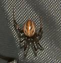 Latrodectus hesperus - male