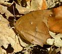 Gaotweed Leafwing - Anaea andria - female