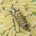 Milkweed Tussock Moth - Hodges#8238 - Euchaetes egle
