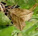 Calyptra canadensis