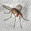 Tachinid Fly - Crocinosoma cornuale