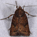 Noctuid of some kind? - Pseudorthodes puerilis