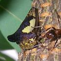Locust Treehopper - Thelia bimaculata - male