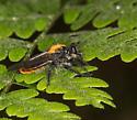 Woodland fly - Laphria