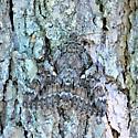 Bark Moth - Catocala