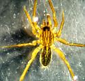 Piratula cantralli - Piratula insularis - male