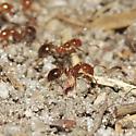 Solenopsis invicta? - Solenopsis invicta