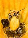 Leafcutter bees on squash blossom. Genus Megachile? Megachile rotundata? - Peponapis