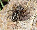 Pretty Jumper - Habronattus orbus - male