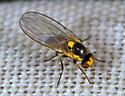 Small fly with yellow