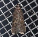 Unknown moth - Glyphidocera