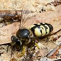 Crabronid wasp? - Bembix belfragei - female