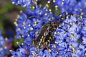 Callimoxys sanguinicollis ?? - Callimoxys fuscipennis