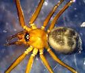 Oreophantes recurvatus - female