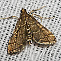 Yellow-spotted Webworm Moth - Hodges#5176 - Anageshna primordialis