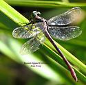 Russet-tipped Clubtail female - Stylurus plagiatus