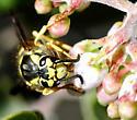 Vespula pensylvanica - female