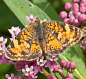 Butterfly - Phyciodes cocyta - female