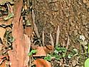 Left side of the same tree - Atypus snetsingeri