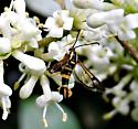 Clearwing Moth - Synanthedon scitula