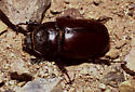 Ox Beetle - Strategus aloeus - female