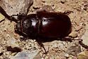 Ox Beetle - Strategus aloeus - female