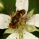 hairy syrphid - Parhelophilus obsoletus - male