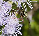 beetle - Placosternus