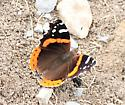 Butterflies Vanessa atalanta - Red Admiral - Hodges#4437 - Vanessa atalanta